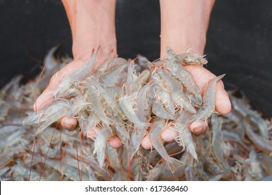 Two hands are catching white shrimp in chilled water tank to check the quality of freshness, clean for sale from white shrimp farm to freezer room and then export to foreign countries.