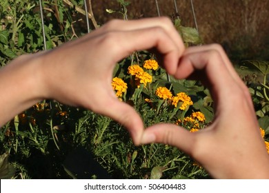 Two Hands Forming Heart With Bright Yellow Marigold Flowers Growing In Raised Garden Bed Beyond On A Farm In The Mountains Of South West Virginia