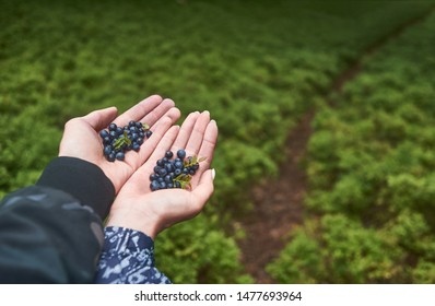 Two hands hold blue berries outdoors