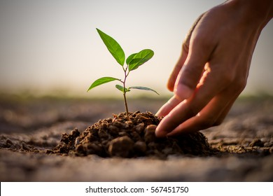 Two hands of the men  were planting the seedlings into the ground to dry. - Shutterstock ID 567451750