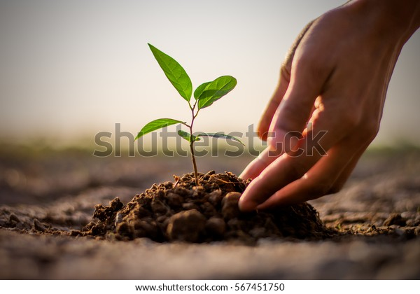 Two hands of the men  were planting the seedlings into the ground to dry.