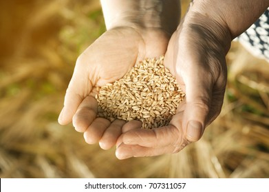 The two hands of old farmer close-up are holding a handful of wheat grains in a wheat field in the evening with instagram effect.Concept fertility and prosperity