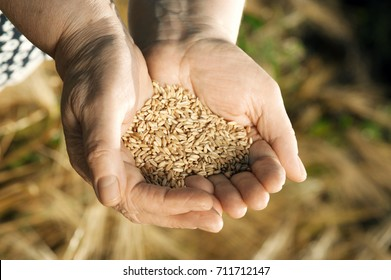 The two hands of old farmer close-up are holding a handful of wheat grains in a wheat field in the evening.Concept fertility and prosperity