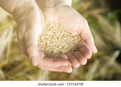 The two hands of old farmer are holding a handful of wheat grains in a wheat field .Concept fertility and prosperity.Warm instagram filter
