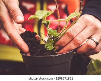two hands planting a plant -  image shows how to propagate perennials - planting Alchemilla or ladys mantle using dirt or soil