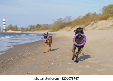 Two happy Belgian Shepherd Malinois dogs playing with puller ring toys running on a beach