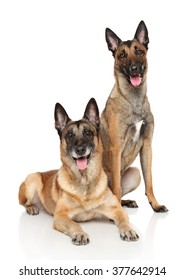 Two happy Belgian shepherd Malinous posing on white background