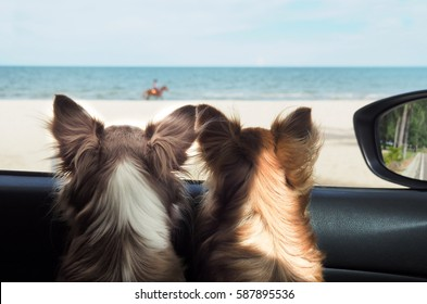 two happy chi hua hua dog in a car looking to the sea or the beach from the car's window on vacation or holiday. Happy dog in car. Dog on vacation or holiday. Dogs and the sea.