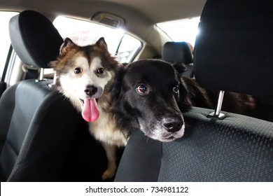 Two happy dogs sitting on the back seat of a car looking out of window with a curious look.