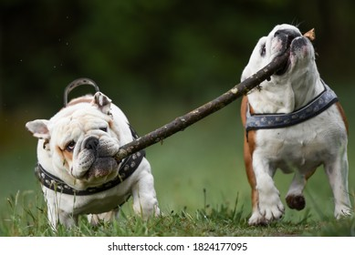 Two happy English bulldogs on an autumn day in the forest with a large stick