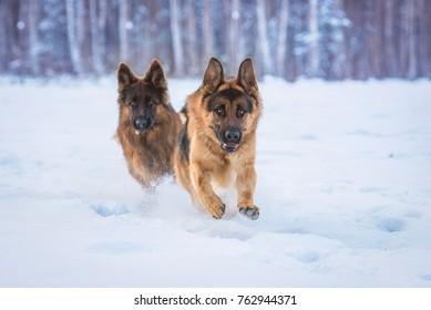 Two happy german shepherd dogs catching a ball in winter