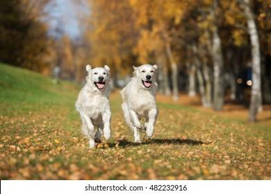 two happy golden retriever dogs running in autumn