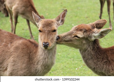 Two happy lovely deer in Nara park