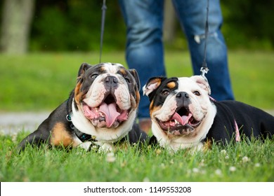 Two happy, obedient English Bulldogs outside laying in grass on leash with owners legs visible behind them