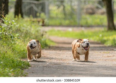 two happy puppies of bulldog walks in the park