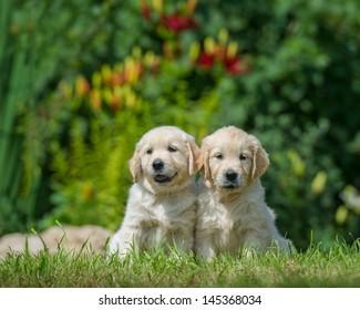 two happy puppies of golden retriever