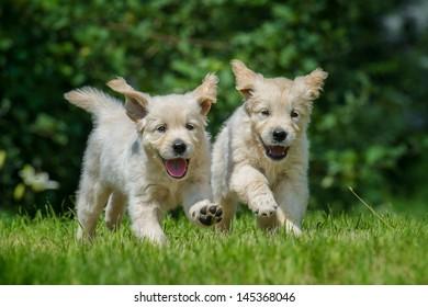 two happy running puppies of golden retriever