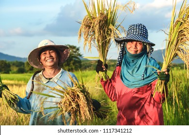 two happy Thai female farmers harvesting rice in countryside Thailand