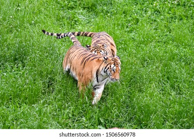 two happy tigers in the field