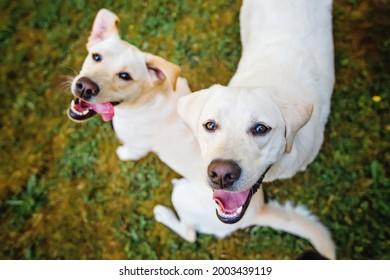 zwei hellgelbe Laborhunde