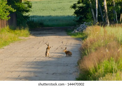 Two hares on dirt road