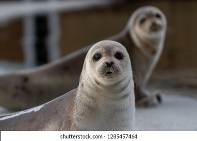 Two harp seals up on their front flippers on an ice pan. The saddleback seals have a dark skin coat. The seals eyes are dark and it has a heart shape nose. There's wrinkles of fur under their heads.