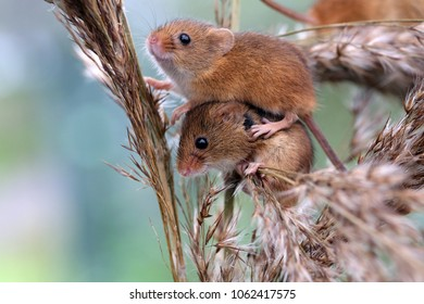 Two harvest mice balancing on a corn shaft.