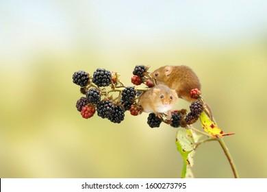 Two harvest mice on blackberries