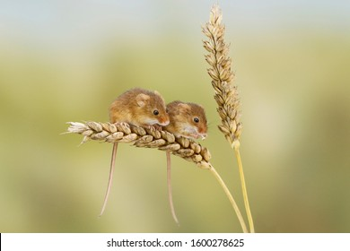 Two harvest mice on wheat