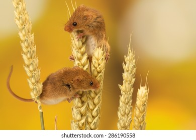 Two Harvest mouse climbing on wheat isolated against an autumn background