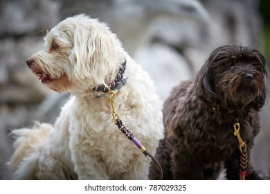 Two havanese dogs sitting waiting obedient with leashes in front of stones outside