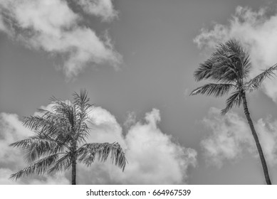Two Hawaiian Coconut Palm Trees in Strong Winds with a Cloud Background.