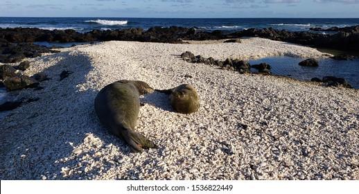 Two Hawaiian Monk Seals on a beach.