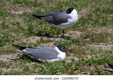 Two healthy seagulls rest together in the grass off the coast of North Carolina