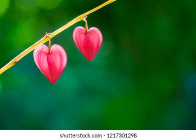 Two hearts of dicentra flower on green natural background, copy space