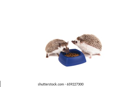 Two hedgehogs eating food from a dish on an isolated white background