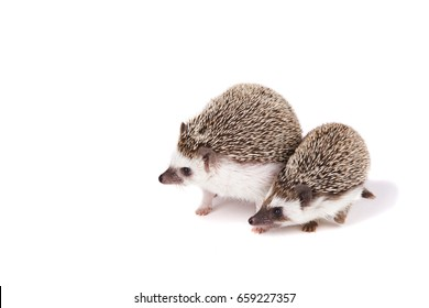 Two hedgehogs on an isolated white background