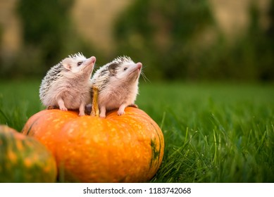 two hedgehogs are sitting on a pumpkin