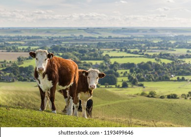 Two Hereford cows on hillside with view of countryside behind, Wiltshire, England