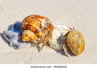 Two Hermit Crabs in a screw shell on white sand of Koh Similan Island in Similan National park, Phang Nga, Thailand. Selective focus