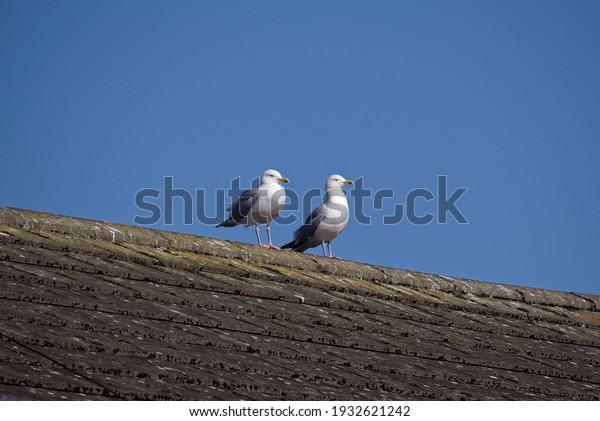 two-herring-gull-larus-argentatus-600w-1