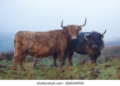 Two Highland Cattle on Exmoor on a misty day,