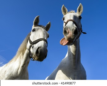 two hilarious old-kladruby horses