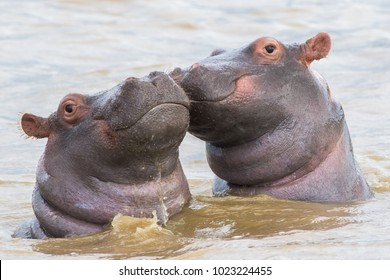 Two hippo calfs in Saint Lucia, South Africa.