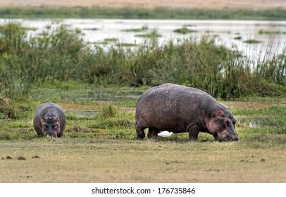 Two hippo (Hippopotamus amphibius kiboko) graze out of water, Amboseli National Park, Kenya