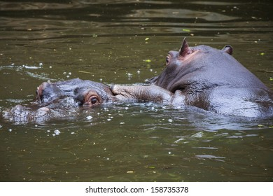 Two Hippo Playing in the Water