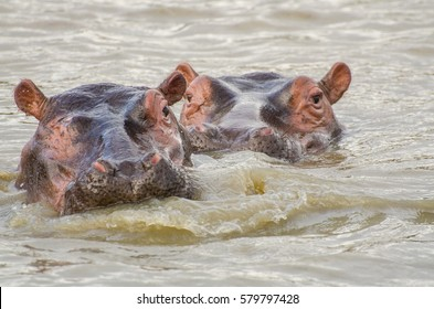 Two hippopotamuses in the river in St Lucia, KwaZulu-Natal, South Africa.