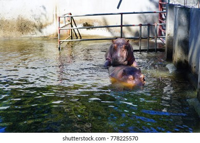 Two hippopotamuses in the water.