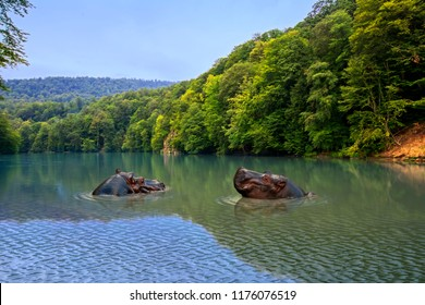 Two hippos in the water with beautiful green forest on background. The common hippopotamus (Hippopotamus amphibius) in Black Volta river, Ghana, Africa