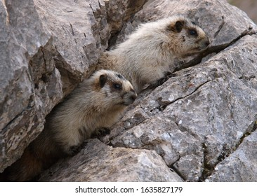 Two hoary marmots, Banff national park, Canada